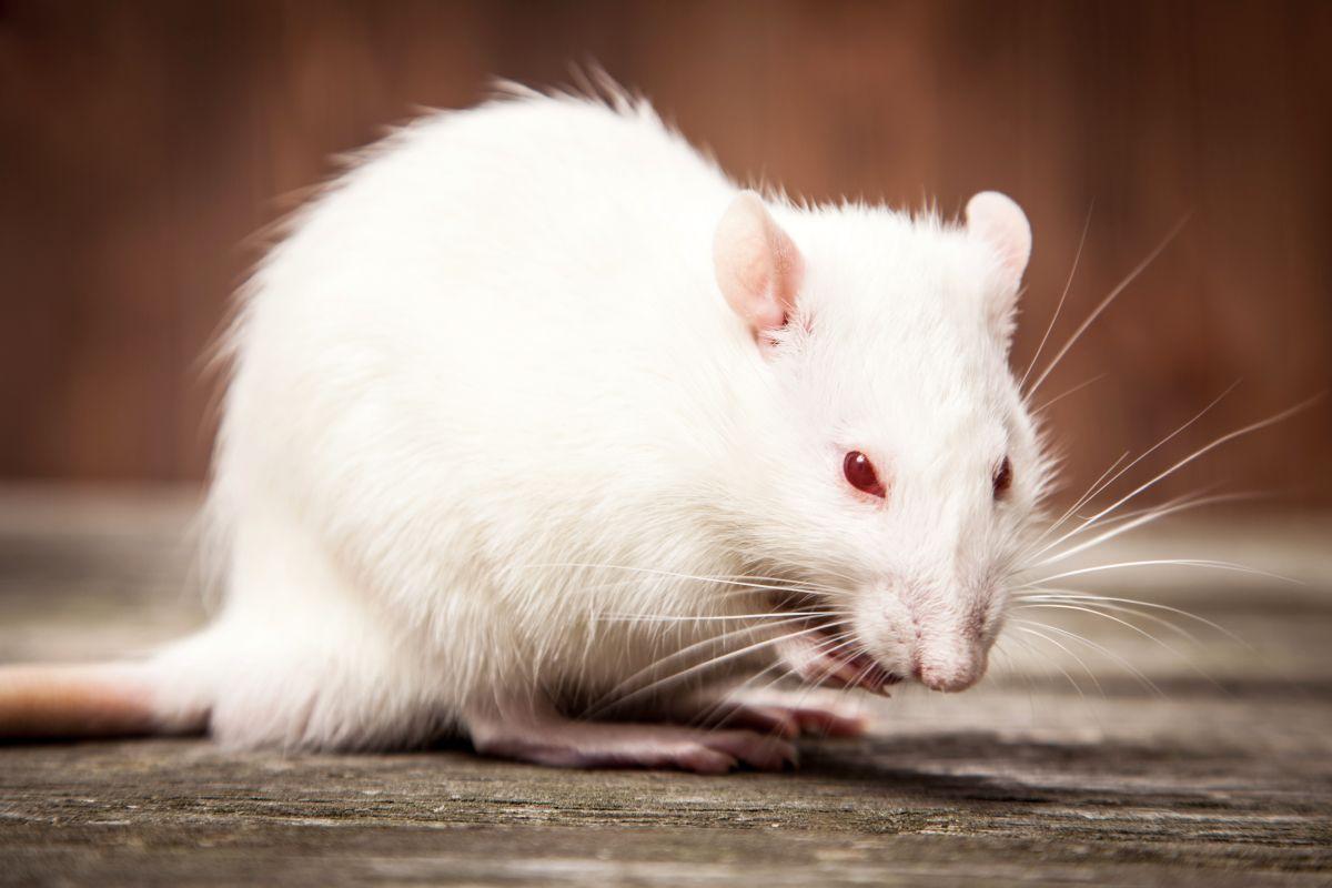 Souris Dans Les Murs Comment Faire les bons produits pour se débarrasser des souris